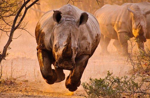 mlm rinocérosz